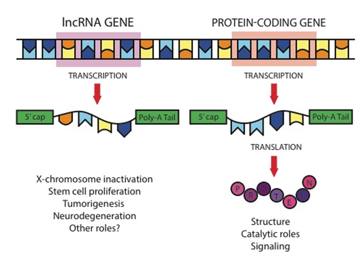 "Figure 1: LncRNAs differ from mRNAs primarily because they are not translated into proteins. Both lncRNA molecules and mRNA molecules are transcribed from DNA and modified with 5' caps and poly-A tails. The mRNA is then ""read"" in a process called translation, which produces proteins. LncRNA does not produce a protein but goes on to serve a variety of regulatory roles."