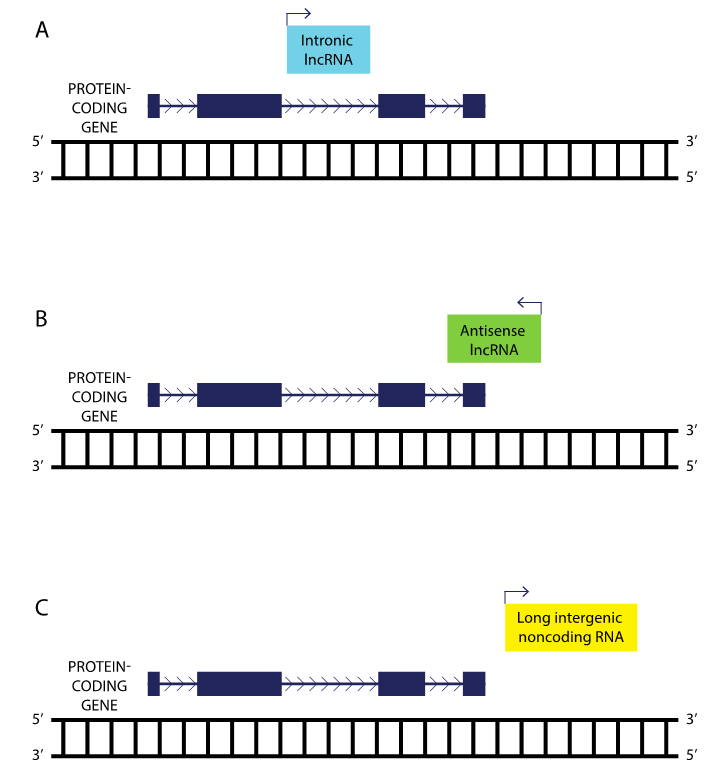 Figure 2: Locations of various types of lncRNAs relative to a neighbor protein-coding gene. Intronic lncRNAs reside in introns within protein-coding genes, antisense lncRNAs overlap with protein-coding genes, and long intergenic noncoding RNAs are found between protein-coding genes.