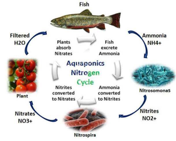 "Lee, Figure 2. Nitrogen Cycle in Aquaponics (""Consulting in Agriculture,"" n.d.)"