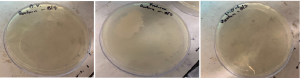 Garg, Jana, Rai, Wu Fig. E: After 24 hours after expiry, there was no bacterial growth visible on the Organic Valley plate, the Producers plate had fungal contamination, and bacterial growth was present on Lucerne plate (left to right).